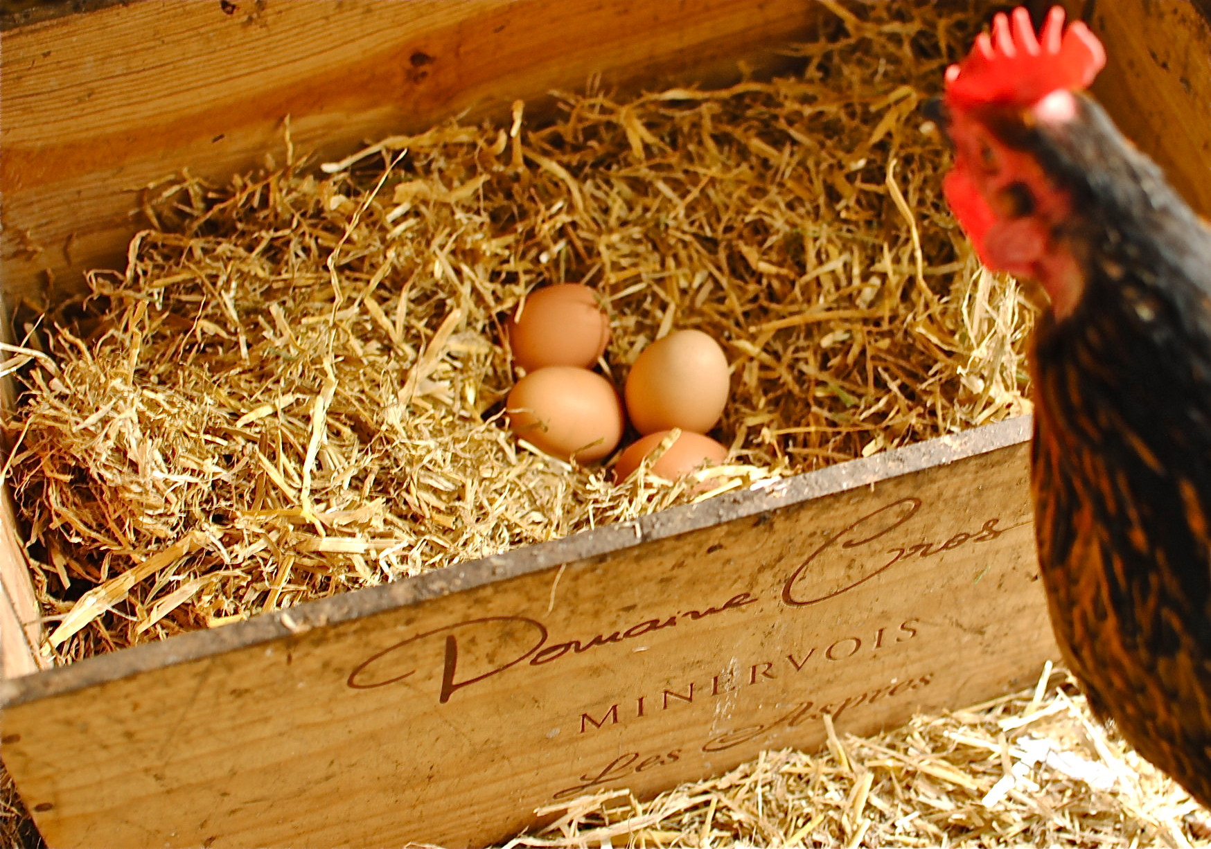 Gratuitous shot of sugar the hen and eggs