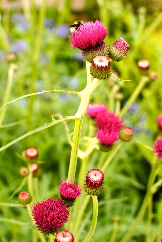scottish thistle and bee