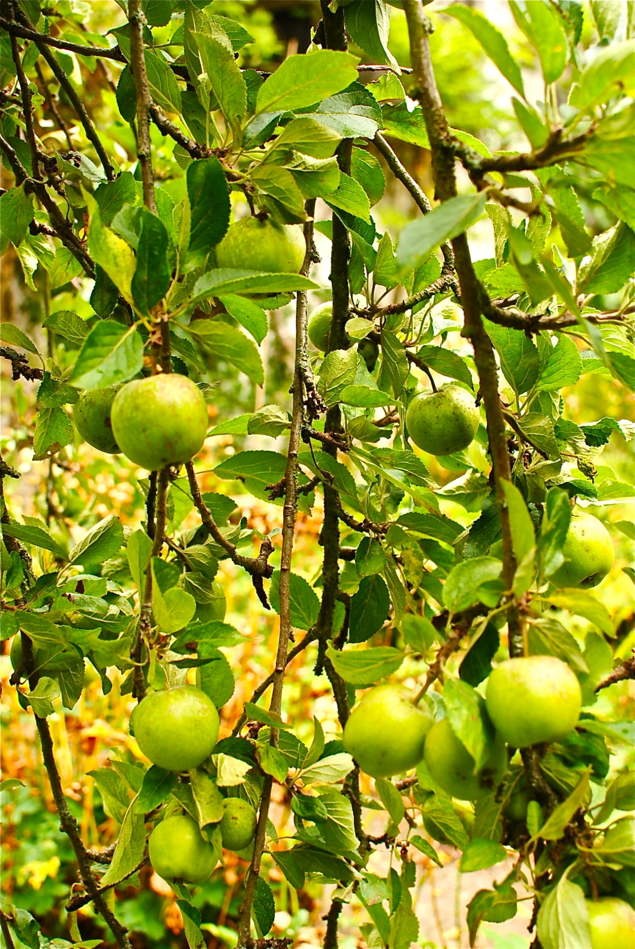 low-hanging apples - best get picking