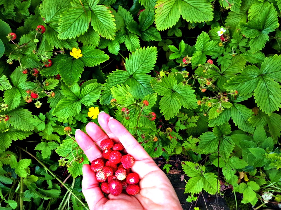 wild strawberries (Alpine strawberries) at food to glow